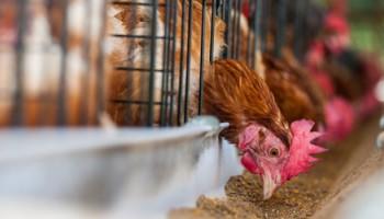 Asigurare agricola pentru pasari
