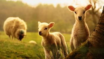 Asigurari agricole pentru animale